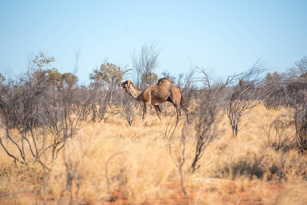Wild camel in the Northern Territory outback